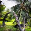 Crooked Coco Palm