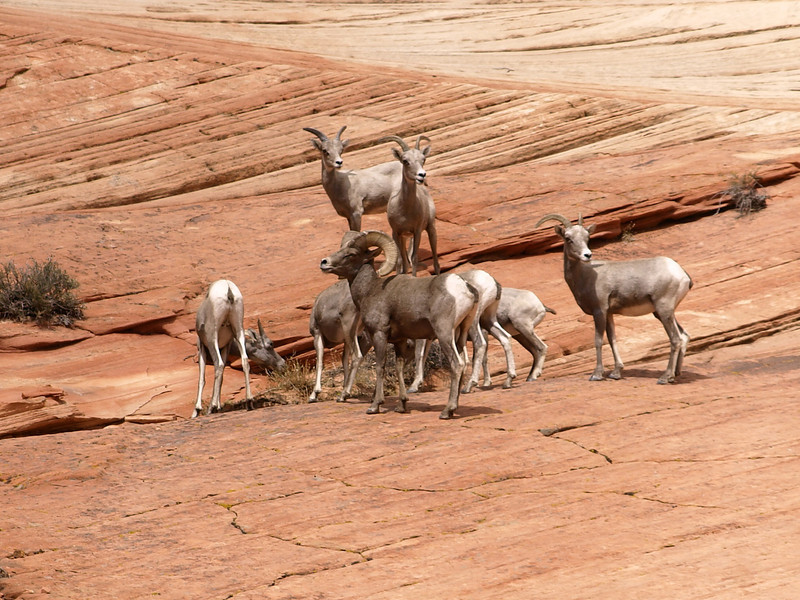 A heard of Big Horn sheep in Zion National park.
