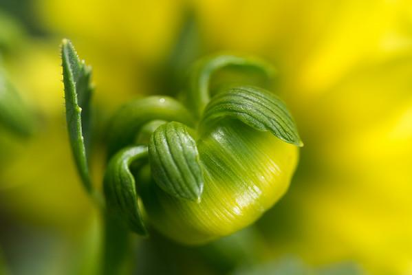Yellow Dahlia Bud #2