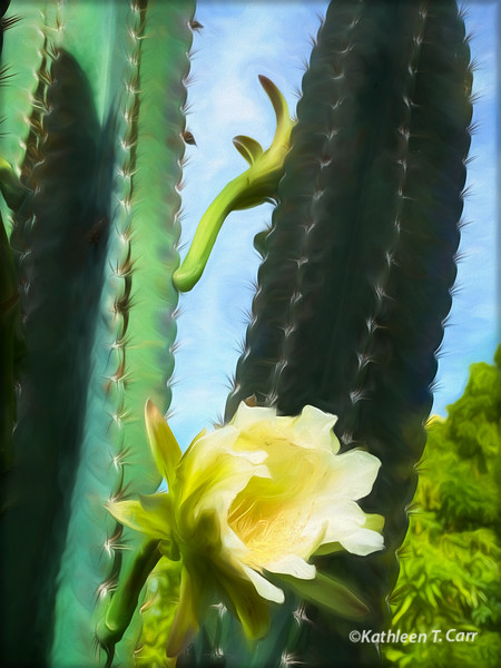 Peruvian Apple Cactus and Blossom