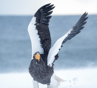 Stella Sea Eagle