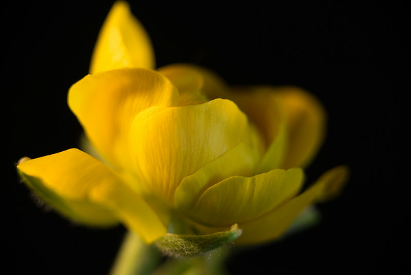 Baby Yellow Ranuncula