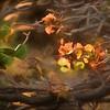 Wiliwili Tree Blossoms