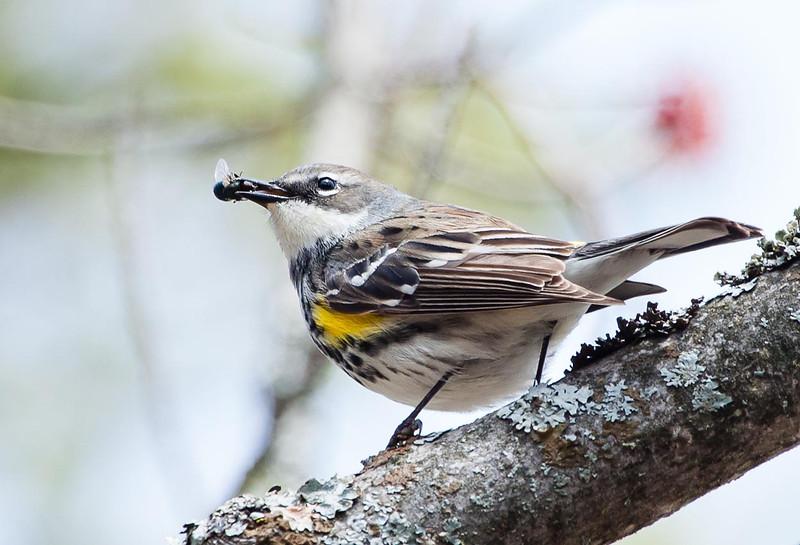 Female Yellow-rumped Warbler