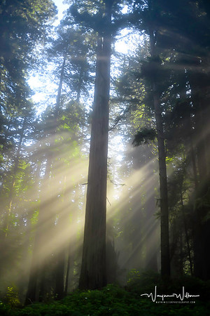 Redwood Sunshine