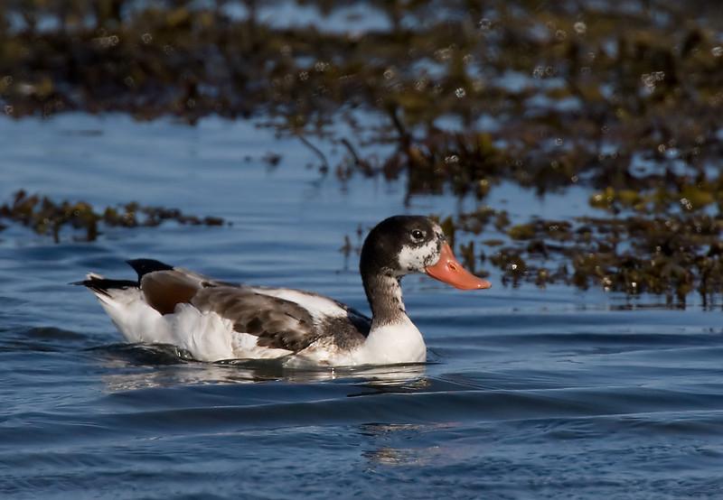 Juv. Shell Duck.
