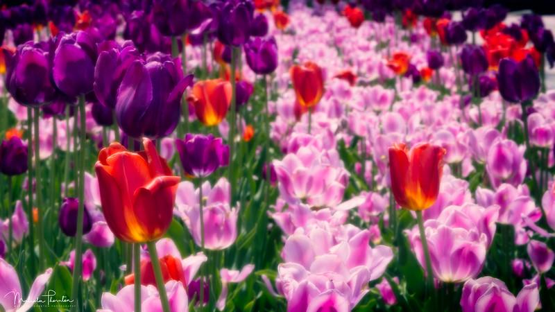 Parliamentary Tulips