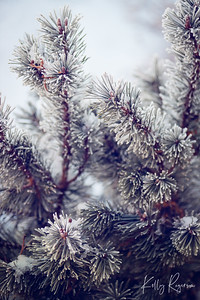 Winter on the evergreen branches.