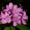 """Rhododendron of Mentone"""
