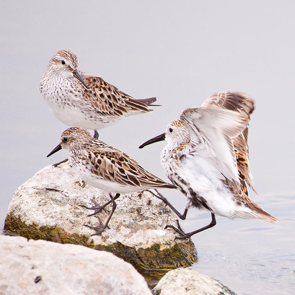 Adult and Two Juvenile Dunlins