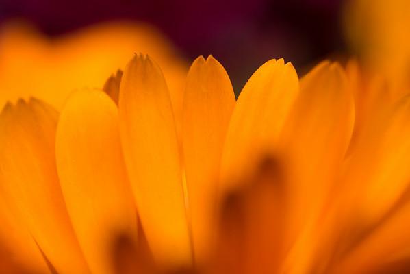 Marigold Petals #3