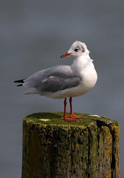 Juv. Black Heaaded Gull.