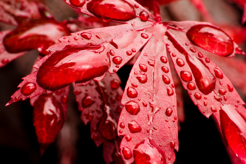 Red Leaf Water Droplets