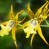 Two Yellow Orchids