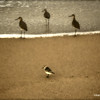 Shorebirds on Beach