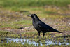 Carrion Crow.