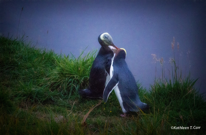 Yellow-Eyed Penguins Courting #72
