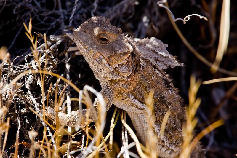 Horned Lizard, Ouray National Wildlife Refuge, Utah