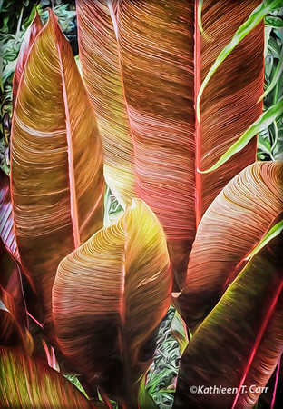 Pink Striped Heliconia