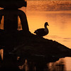 Duck Sunset