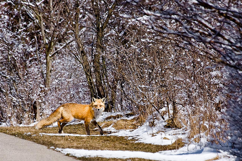 Red Fox, Huff Nature Preserve, Michigan