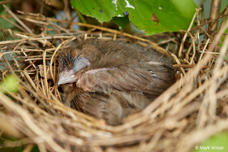 Newborn Northern Cardinals, approximately 8-9 days old.