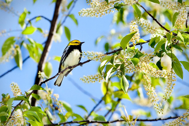 Male Black-Throated Green Warbler