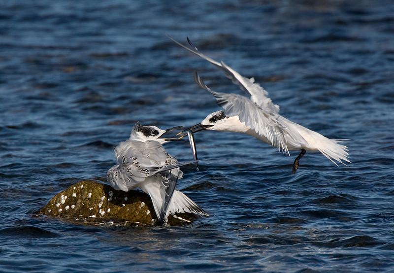 Sandwich Tern feeding a chick.