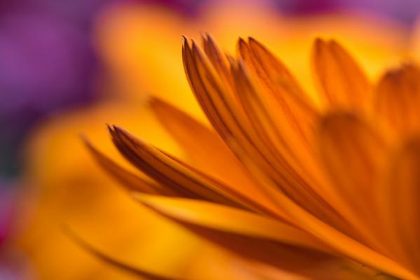 Marigold Petals #5