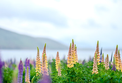 Lupins