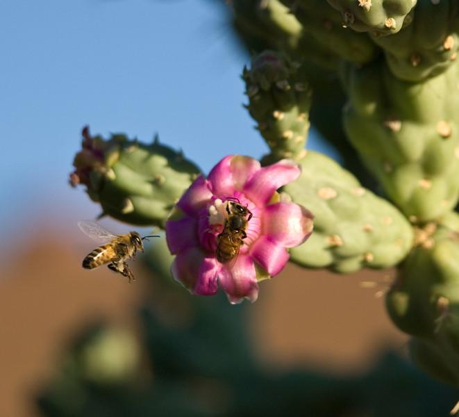A honey bee in my cactus garden.