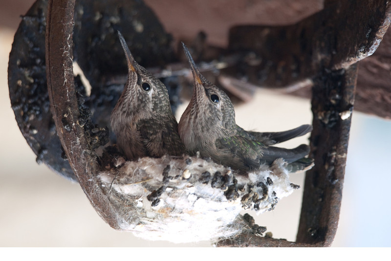 Baby Hummingbirds. These two baby birds were raised under my rear porch. Their mother made her nest in a metal bear trap hanging from the rafters. The nest was the size of a Silver Dollar. The one did not want to leave at the end so the other one with the mother destroyed the nest and pushed him out to go on his own.
