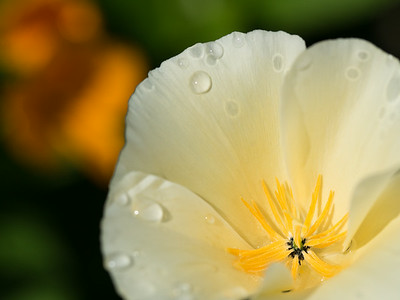 White Poppy #4 - Freshly Sprinkled
