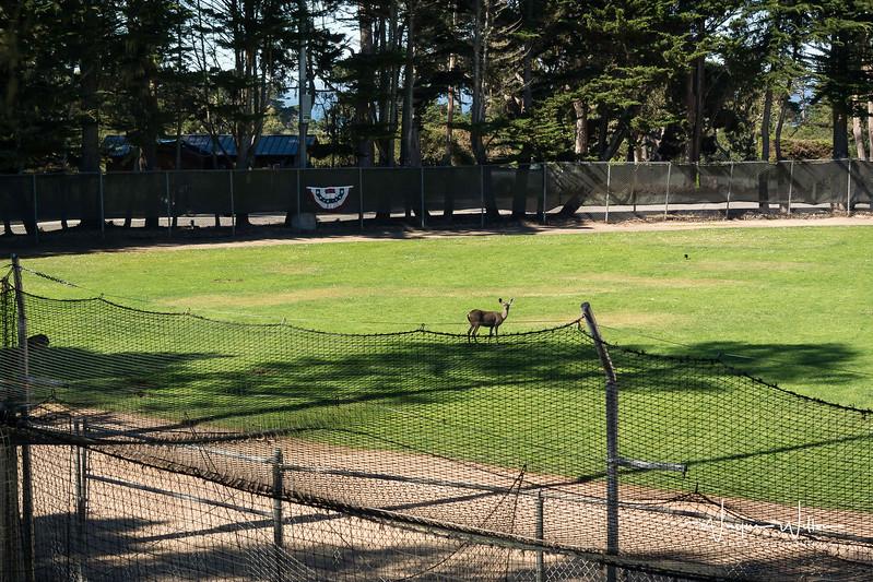 A young deer wanders a deserted Baseball diamond.
