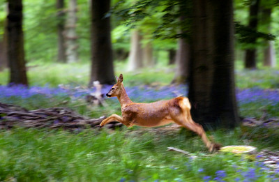Deer in Bluebell Wood