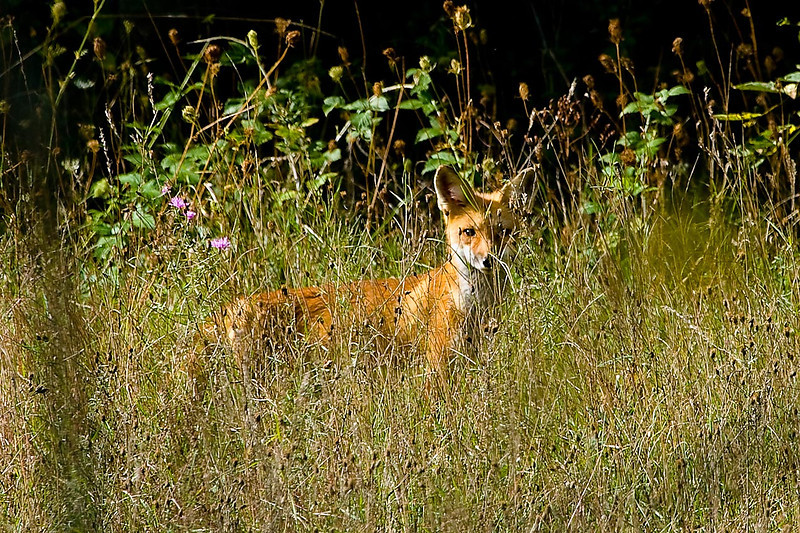 Red Fox, Huff Nature Preserve, Grand Rapids, Michigan