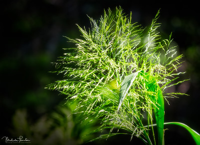 Amazon Grass