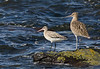 Bar Tail Godwit and a Curlew. John Chapman.