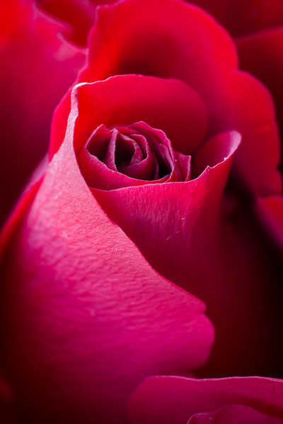 A Red Rose for Valetines Day