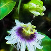 Lilikoi Blossoms (Hawaiian Passionfruit)