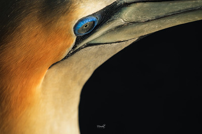 The Blue-Eyes Gannet