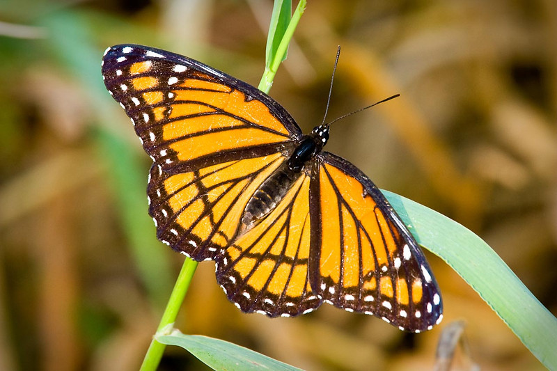 Viceroy Butterfly, DeSoto National Wildlife Refuge, Nebraska/Iowa