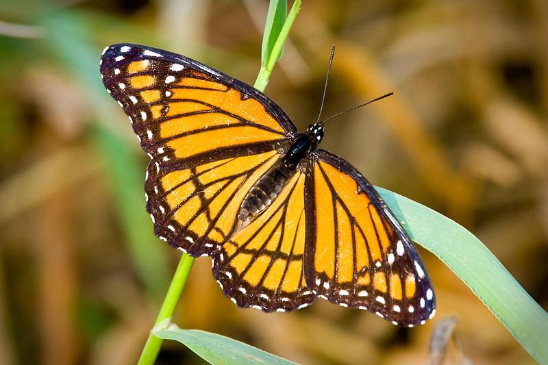 Viceroy Butterfly, DeSoto National Wildlife Refuge, Nebraska/Iowa