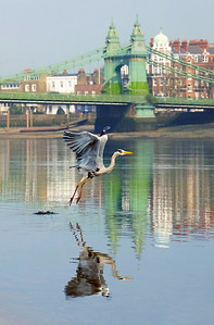 Hammersmith Bridge Heron