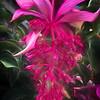 Magnificent Medinilla Blossom