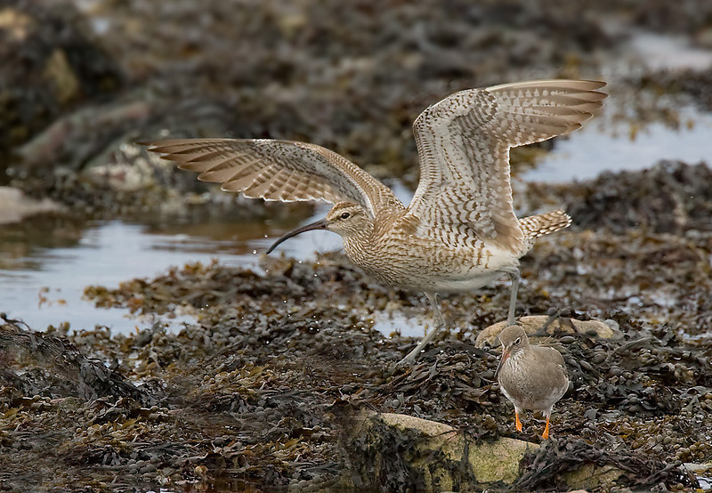 Whimbrel with Redshank.