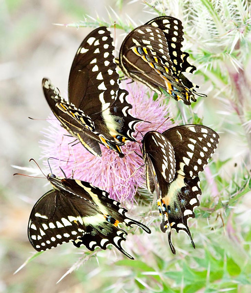 Easter Black Swallowtail Butterfly