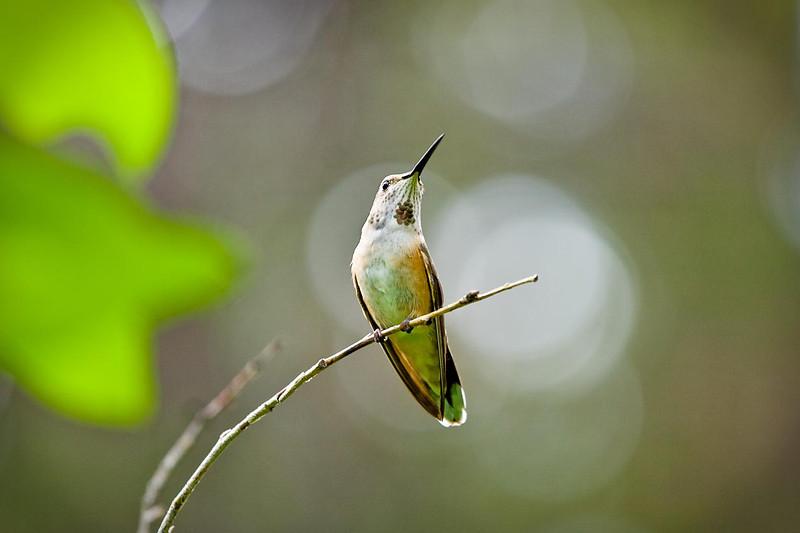 Hummingbird, Gold Park Campground, Colorado