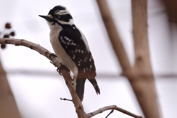 Eastern Downy Woodpecker