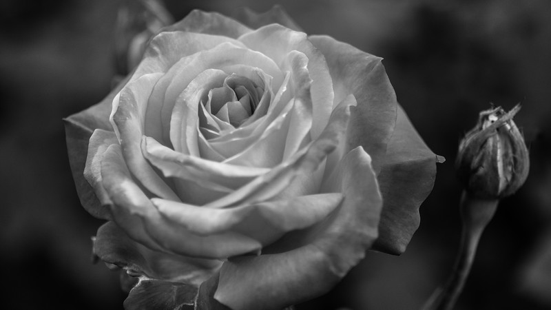 Red Rose in Black and White